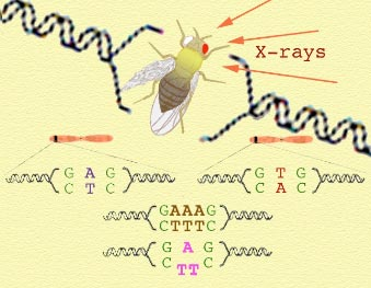 Mutations are changes in genetic information.